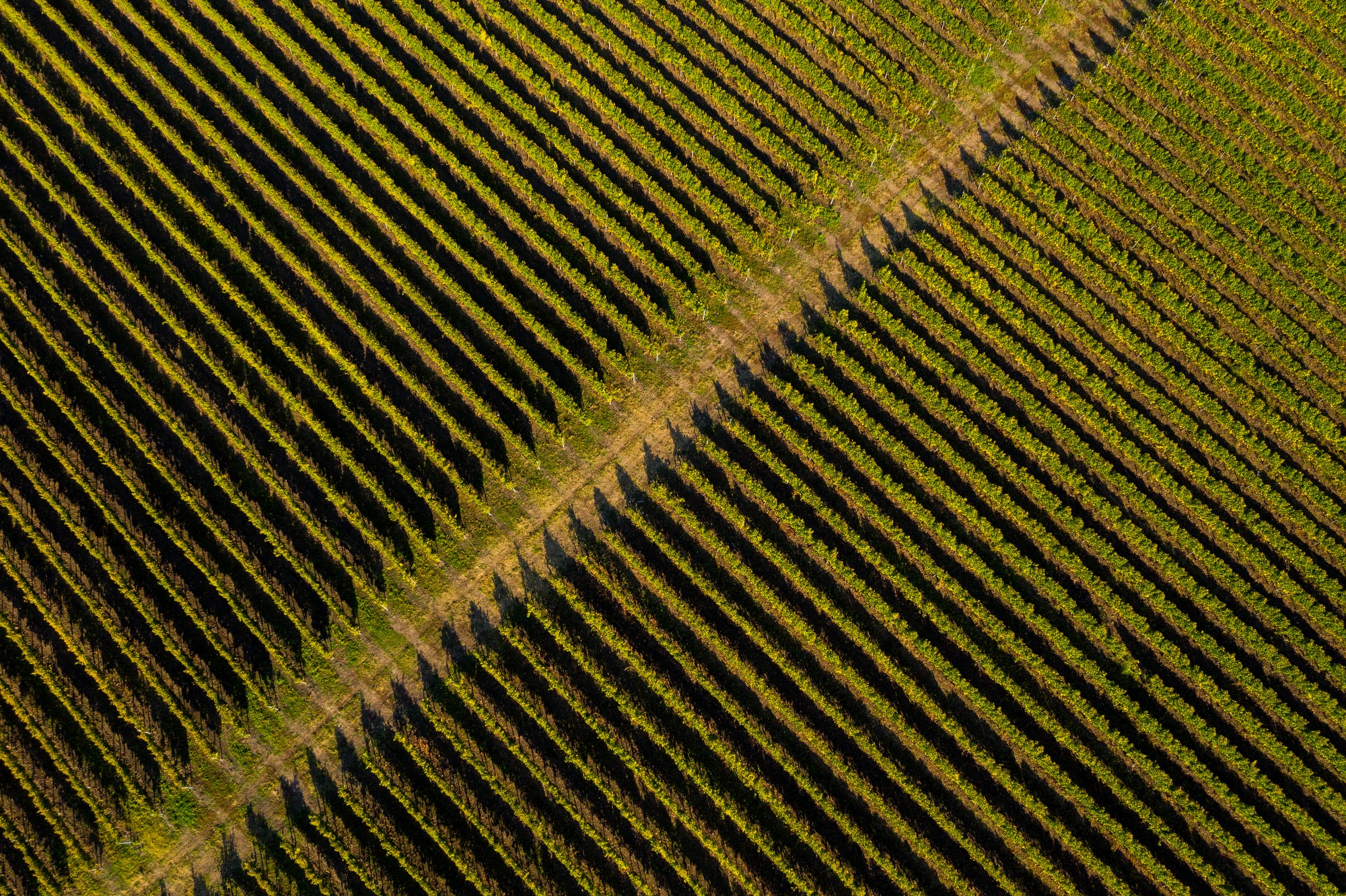 Aerial drone view of vineyard in late afternoon lights